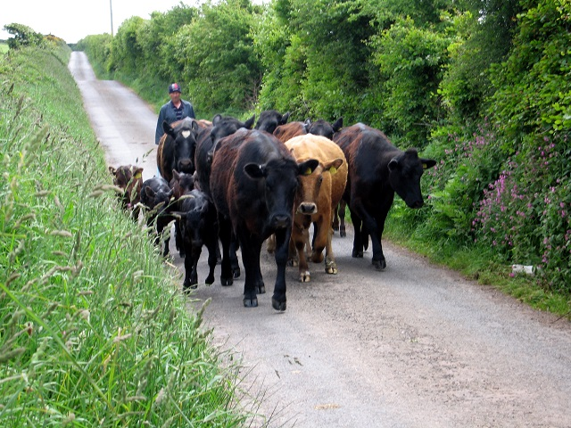 Meeting cattle on the Southern Upland Way